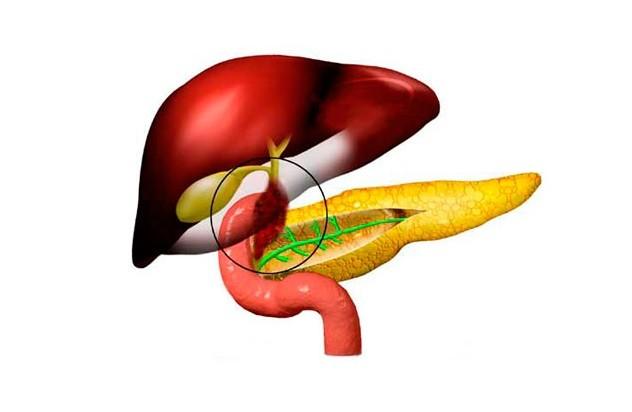 Желчный пузырь, поджелудочная железа и печень