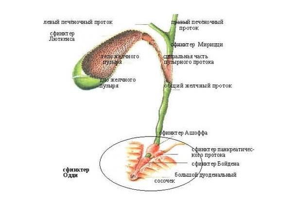 Дискинезия желчного пузыря: симптомы и лечение