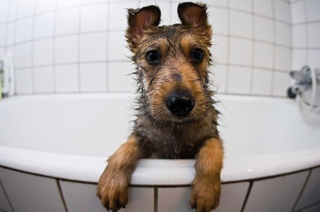 Чтобы не заразиться глистами от собаки, нужно соблюдать правила личной гигиены и следить за чистотой животного